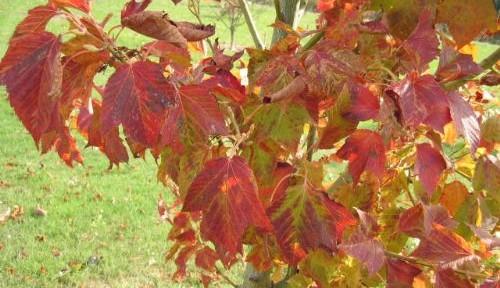 Redvein Maple (Acer rufinerve)