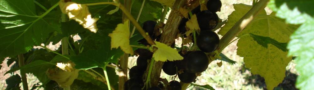 Ribes bc Ben Sarek (Ribes bc Ben Sarek)