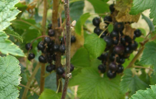 Ribes bc Black Reward (Ribes bc Black Reward)