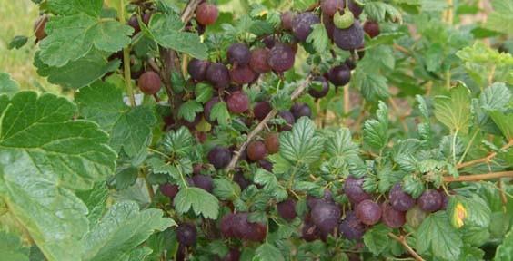 Ribes gb Black Velvet (Ribes gb Black Velvet)