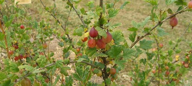 Ribes gb Jahns Prairie (Ribes gb Jahns Prairie)