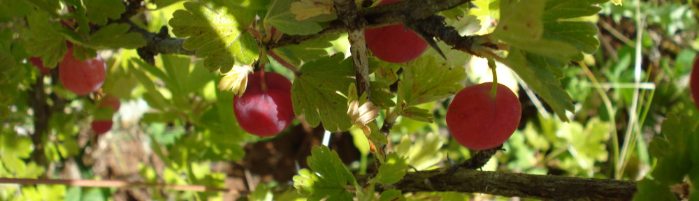Ribes gb Lepaa Red (Ribes gb Lepaa Red)