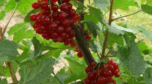 Ribes rc Minnesota 52 (Ribes rc Minnesota 52)