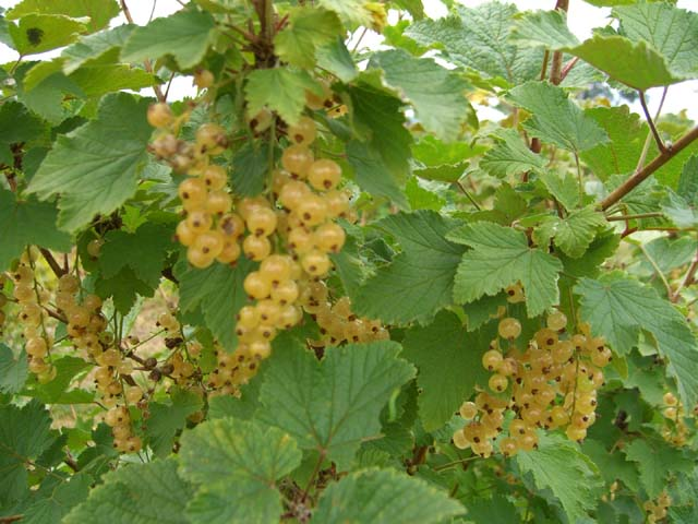 Ribes wc White Imperial (Ribes wc White Imperial)