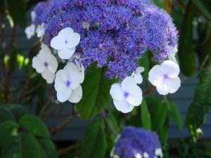 Sargenteana (Hydrangea aspera 'Sargenteana')