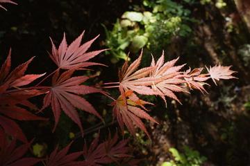 Sensu (Acer shirasewanum 'Sensu')