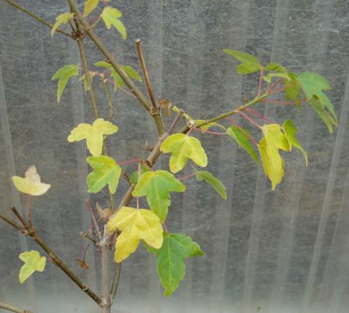Small Leaf Variegate (Acer buergerianum 'Small Leaf Variegate')