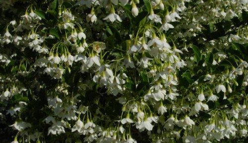 Snowbell (Styrax japonica)
