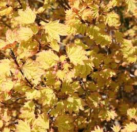 Sunglow (Acer circinatum 'Sunglow')