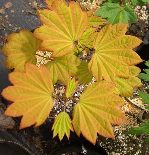 Sunny Sister (Acer circinatum 'Sunny Sister')