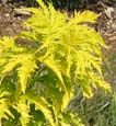 Sutherland Gold (Sambucus racimosa 'Sutherland Gold')