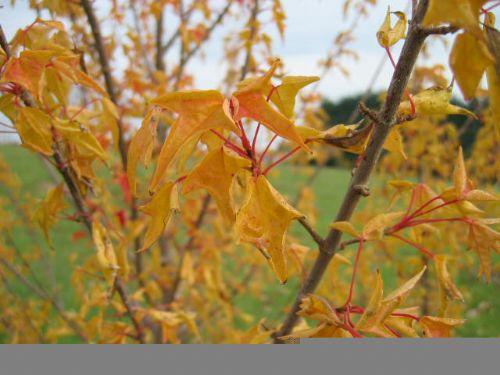Tancho (Acer buergeranum 'Tancho')