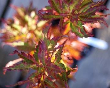 Tiny Leaf (Acer palmatum 'Tiny Leaf' )