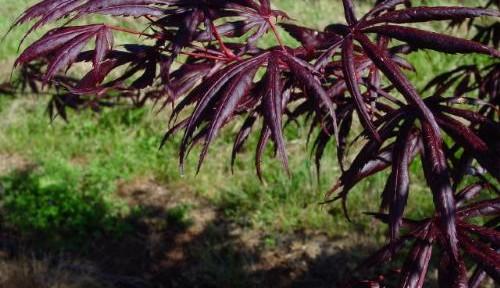 Trompenberg (Acer palmatum 'Trompenberg' )