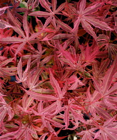 Twombly's Red Sentinel (Acer palmatum 'Twombly's Red Sentinel' )