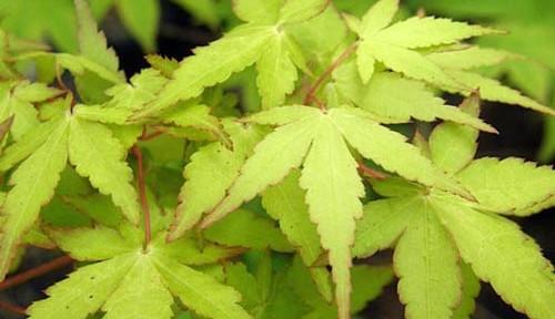 Ueno homare (Acer palmatum 'Ueno homare')
