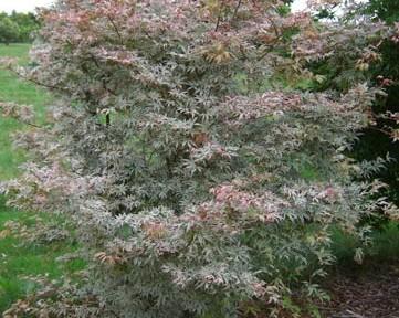 Uki gumo (Acer palmatum 'Uki gumo' )