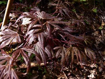 Wetumka Red (Acer palmatum 'Wetumpka Red' )