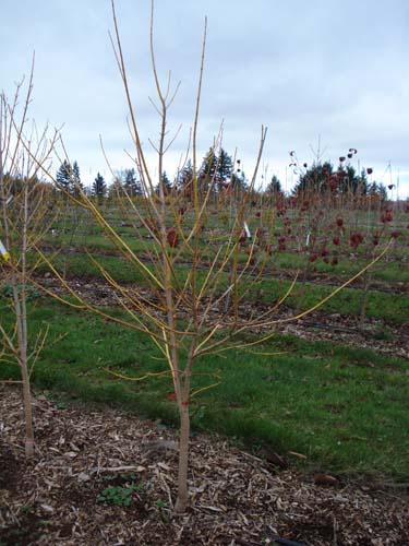 Winter Lightening (Acer negundo 'Winter Lightening')
