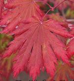 Yamakage (Acer japonicum 'Yamakage')
