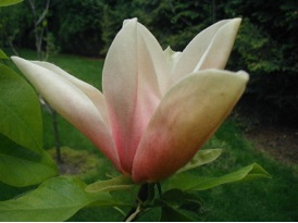 Magnolia 'Peaches and Cream'