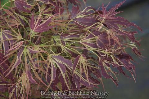 Acer Palmatum Dissectum | Whitman Farms