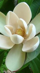 magnoliabiloba