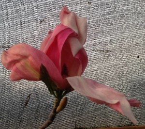 Magnolia Sunspire