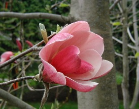 Magnolia  'Red Baron'