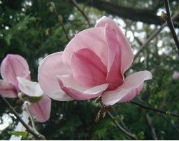 Magnolia Roseanne