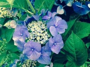 Hydrangea 'Tellers Blue'
