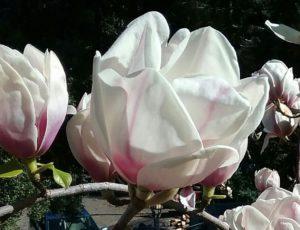Polo de Lorenzo (Magnolia x 'Polo de Loreno')