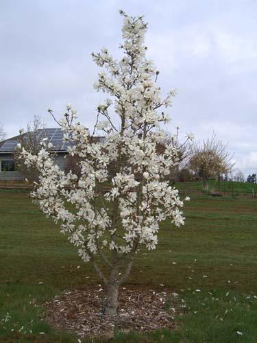 Not Heaven Scent Magnolia Not Heaven Scent Whitman Farms